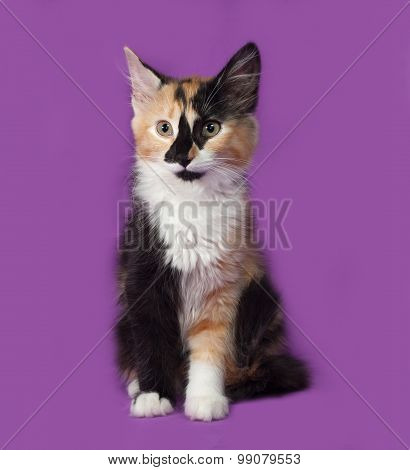 Tricolor Kitten Sitting On Lilac