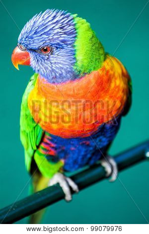 Rainbow Lorikeet isolated on green background