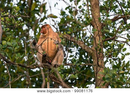 Proboscis Monkey Sitting In A Tree
