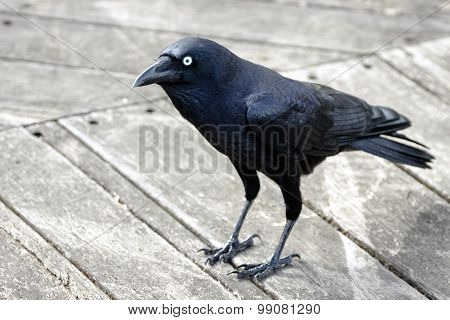 Crow standing on wooden deck