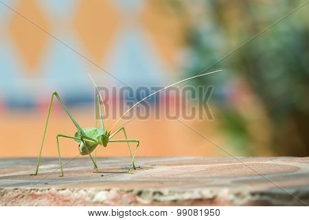 Katydid against a colorful background.