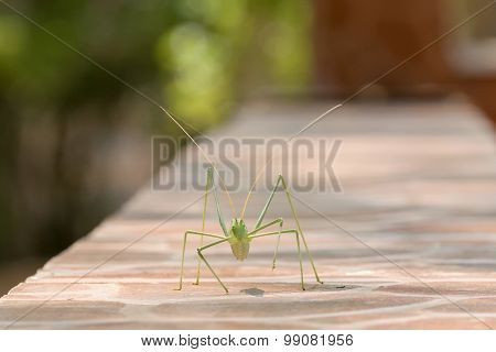 Katydid walking on a mantel. A beautiful macro portrait.