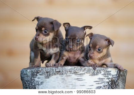 three tiny puppies posing together