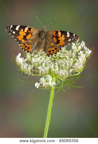 Painted Lady On Queen Ann's Lace