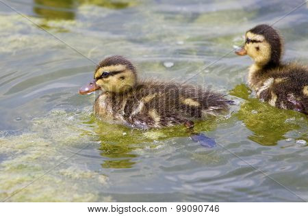 Very Cute Small Ducks