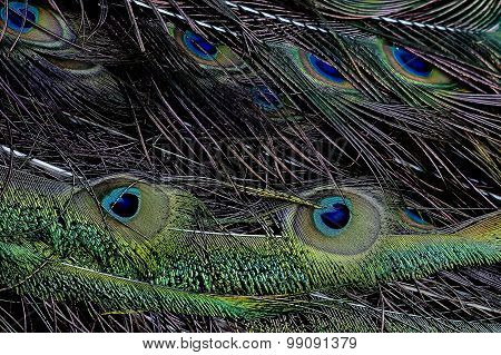 Green Peafowl Pavo Muticus Feather
