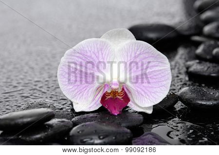 Zen stones and macro of white orchid-wet background