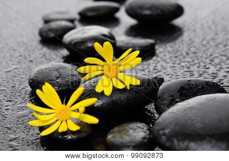 two yellow Gerbera with wet stones on wet