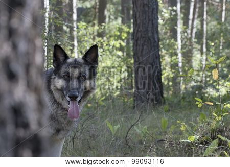 Dog Peeks Out Behind A Tree