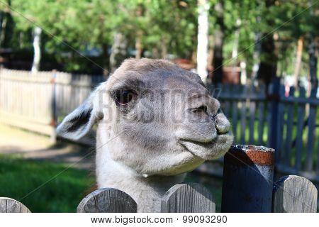 Portrait of Lama