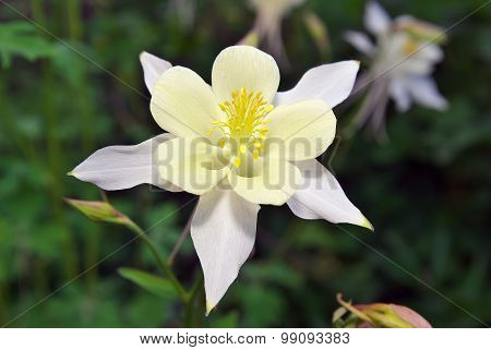 Beautiful White Aquilegia.