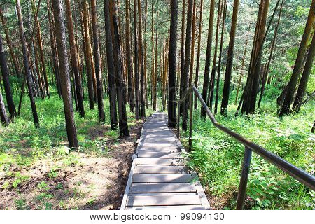 A wooden staircase in the pine forest