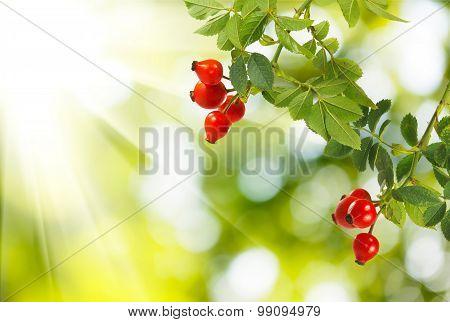 image of rose hips