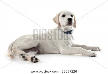 Labrador retriever dog lying isolated on white