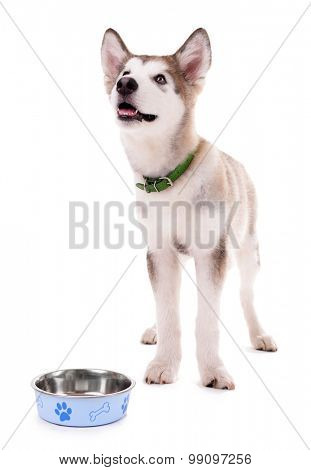 Malamute puppy eating from metal bowl isolated on white