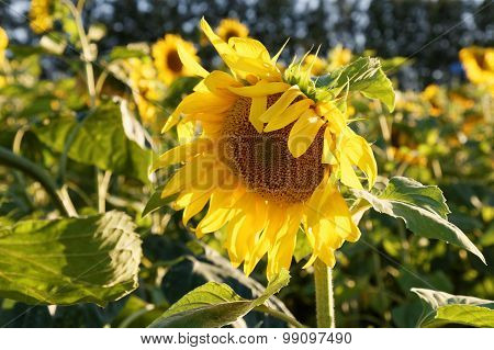Yellow Sunflower On Field Background
