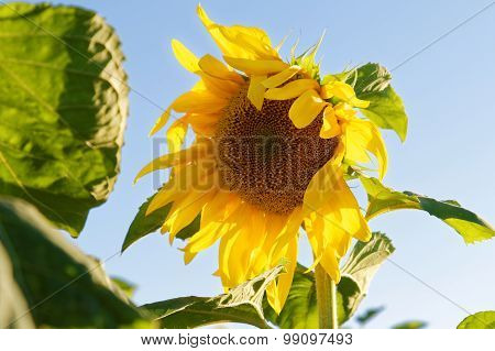 Yellow Sunflower Against The Blue Sky