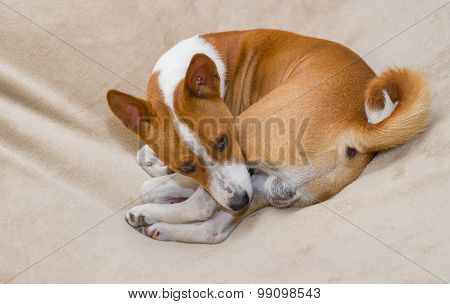 Cute basenji resting in its favorite pose