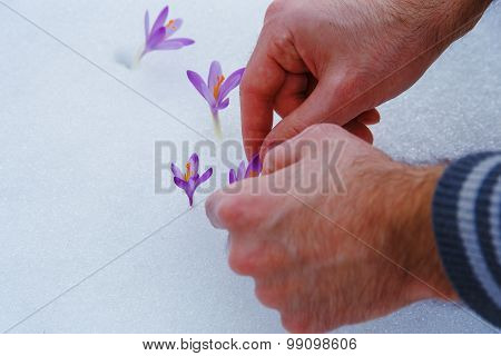 crocuses in snow, purple spring flowers. With man hand.