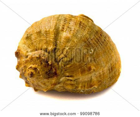 Sea shell isolsted on white background