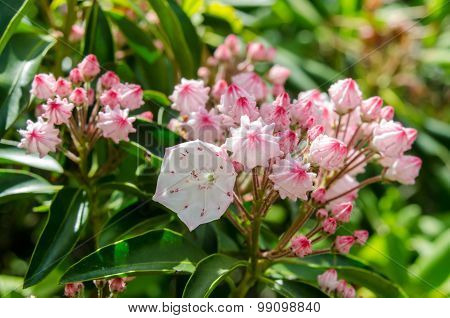Mountain Laurel Close Up