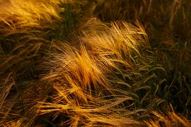 stock photo of cross-hatch  - Soft Barley crop growing in Cotswolds countryside during Summer before harvest - JPG