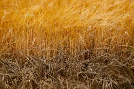 picture of cross-hatch  - Soft Barley crop plants growing in Cotswolds countryside during Summer before harvest - JPG