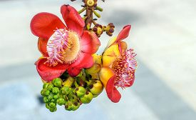 foto of cannonball-flower  - close up Canonball flower in Thailand temple - JPG