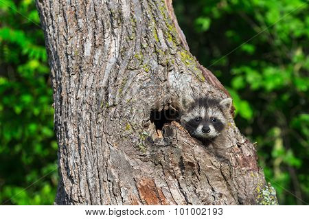 Young Raccoon (procyon Lotor) Stares From Tree