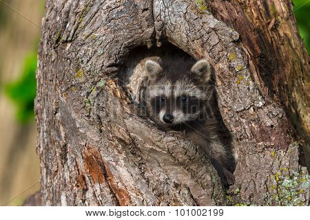 Young Raccoon (procyon Lotor) Hides In Knothole