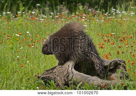 Porcupine (erethizon Dorsatum) Looks Left From Atop Log