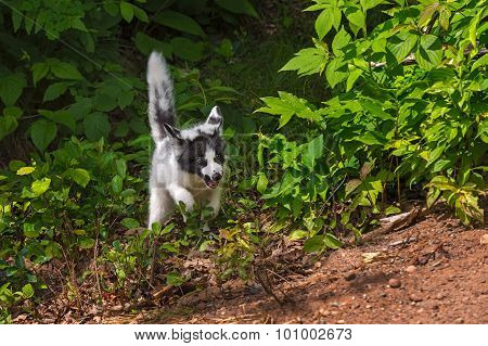 Young Marble Fox (vulpes Vulpes) Rounds Bush