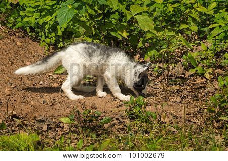 Young Marble Fox (vulpes Vulpes) Sniffs The Ground