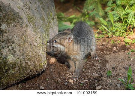 Grey Fox Kit (urocyon Cinereoargenteus) Sniffs At Rock