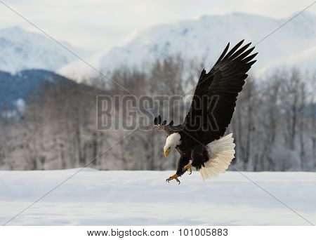 The Bald Eagle Landed