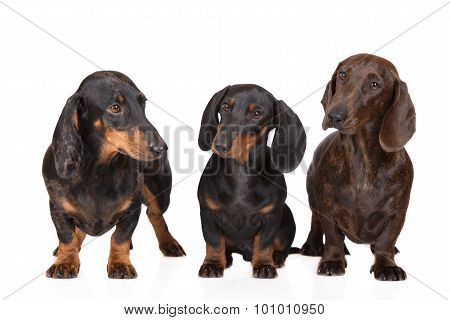 three dachshund dogs on white