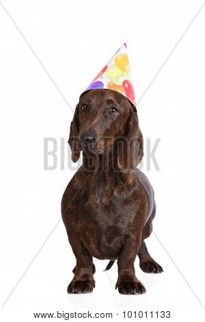 brown dachshund dog in a birthday hat