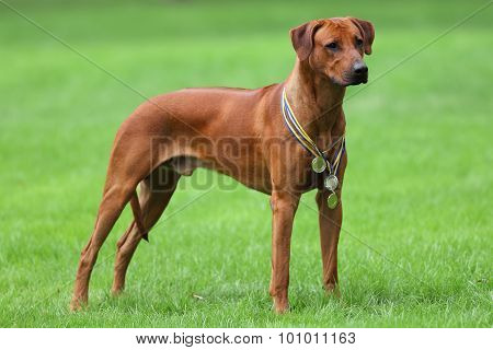Dog rhodesian ridgeback for a walk outdoors on a green field