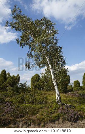 Luneburg Heath - Landscape With Birch Tree