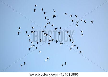 Many Birds In Sky