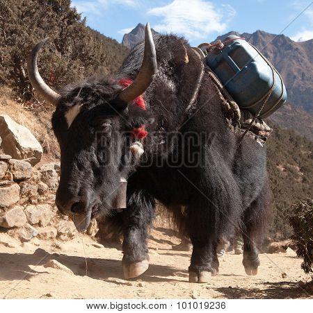Black Yak On The Way To Everest Base Camp - Nepal