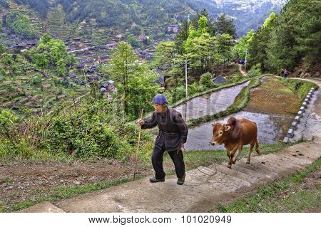 Chinese Farmer Rises Up Mountain Path, Holding Reins Red Buffalo.