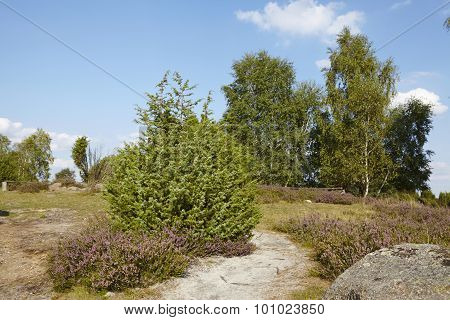 Luneburg Heath - Small Path And Stone In The Heathland
