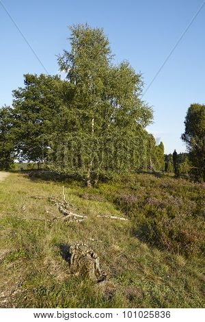 Luneburg Heath - Heathland With Old Stump