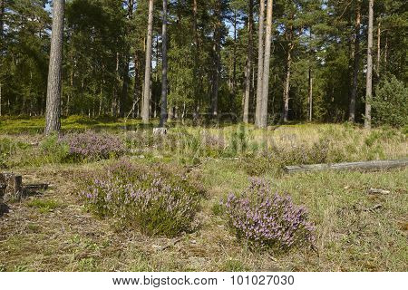 Luneburg Heath - Heath at an edge of a forest