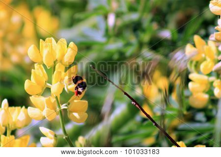 Bumble Bee Harvesting Yellow Lupin Flowers