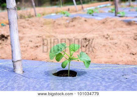 Young Melon Plantation Mulching With Plastic Film.