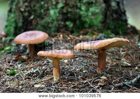 Red Hot Milk Cap Mushrooms - Lactarius rufus