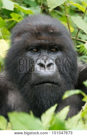 Close-up Of Male Silverback Looking Into Distance