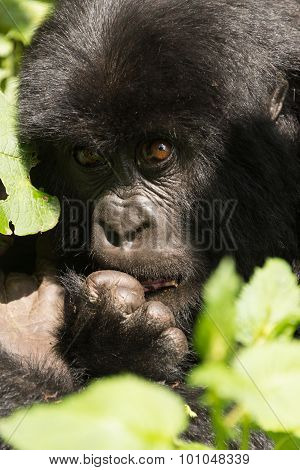 Close-up Of Baby Gorilla Biting A Finger